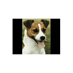 Jack Russell Terrier glad...