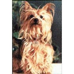Yorkshire Terrier Magneet