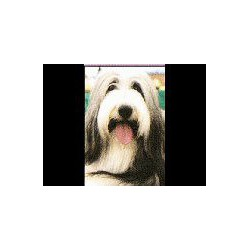 Bearded Collie Glossy kaart