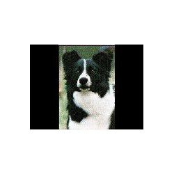 Border Collie Glossy kaart