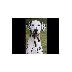 Dalmatische Hond Glossy kaart