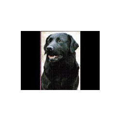 Labrador Retriever zwart...