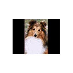 Shetland Sheepdog / Sheltie...
