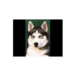 Siberische Husky Glossy kaart