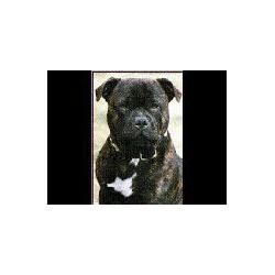 StaffordShire Bull Terrier...
