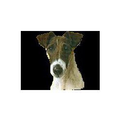 Fox Terrier korthaar...