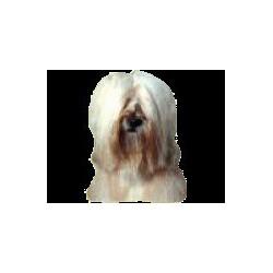 Tibetaanse Terrier Sticker...