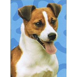 Jack Russell Terrier...